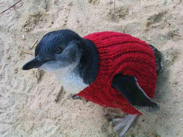 GOOD ON YA MATE: A crook Penguin in its Welsh jumper