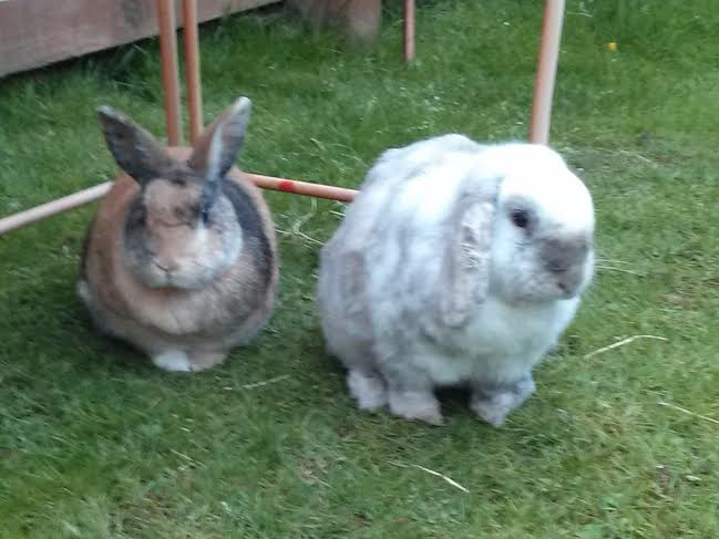 STOLEN: The two rabbits, Alf and Nacy