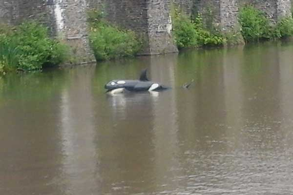 DON'T WORRY: The killer whale in Caerphilly Castle moat