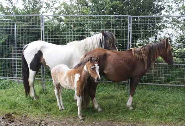SEIZED: The horses from Manmoel Common have been re-homed