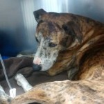 The male brindle lurcher was found collapsed on a small grass verge at the end of Rudry Road, Rudry