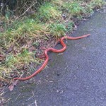 SLIPPERY: The snake that was found on Van Road in Caerphilly