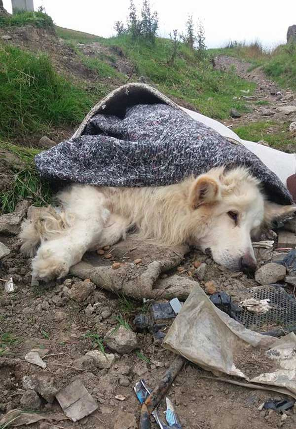 The white German Shepherd was found dumped by the side of a road on Fochriw mountain. Photo by Robyn Jones