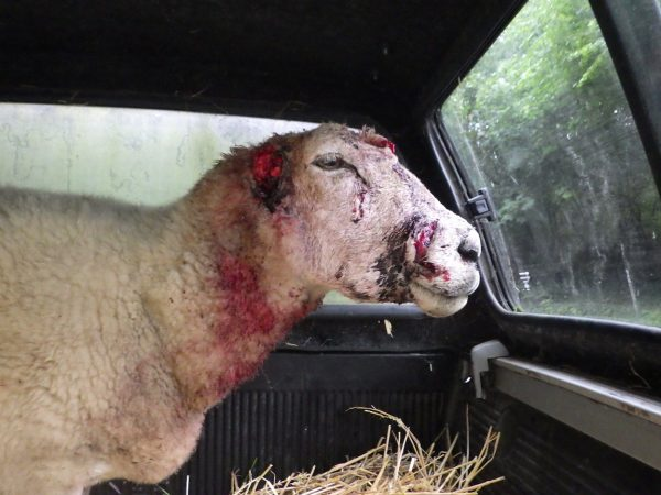 The sheep was found on a banking near the Trehir Civic Amenity site on Sunday, September 9
