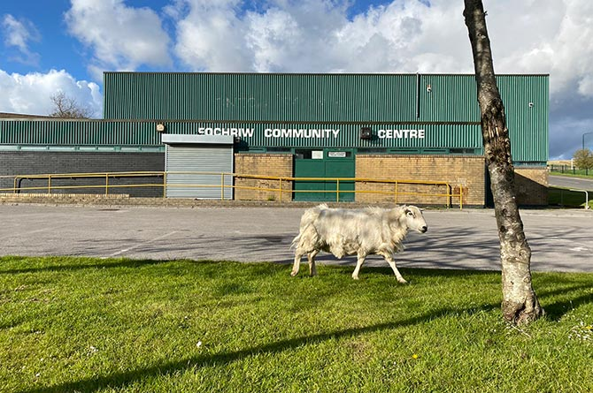 A sheep wanders past Fochriw Community Centre
